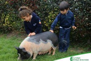 mini-pigs-cma1
