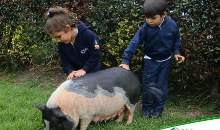 MINI PIGS AWAKE CHILDREN'S CURIOSITY